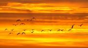 Ganzen vleigen de zonsondergang tegemoet / Geese fly into the sunset