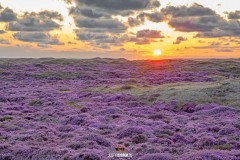 Bloeiende heide en zonsondergang op Texel / Heather in bloom and sunset on Texel