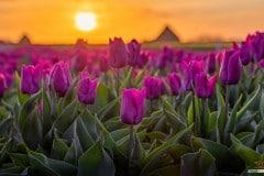 Tulpen tijdens zonsopkosmt / Tulips during sunrise on Texel / justinsinner.nl
